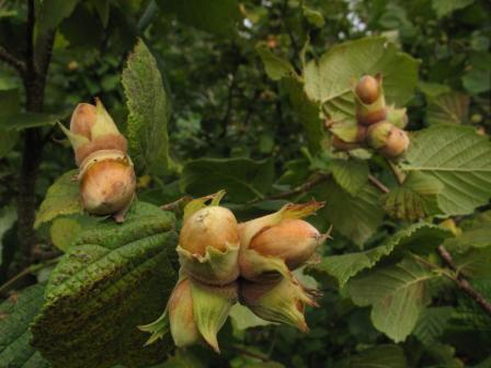 лесные орехи