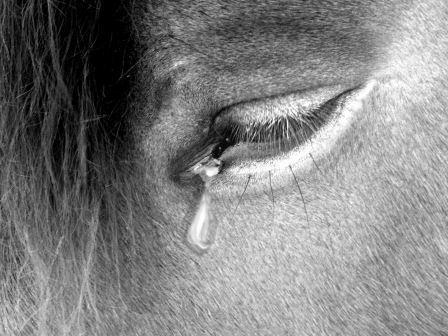 конская слеза